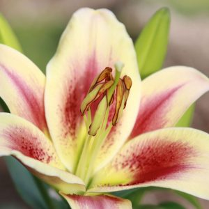 Photo fo a Montego Bay lily blossom